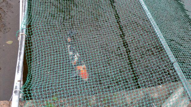 都賀川公園鯉