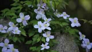 本日から開園の六甲高山植物園のおすすです。初夏に向けて見どころがたっぷり